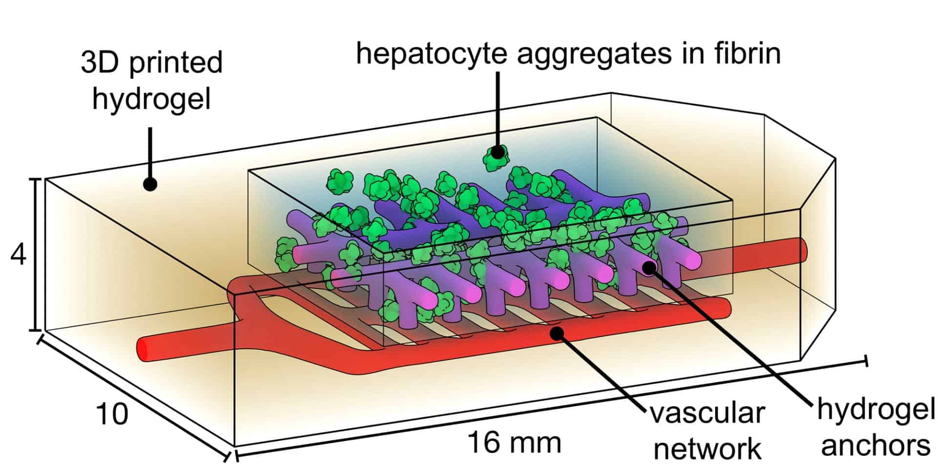 Graphic of vascular network and liver cell system