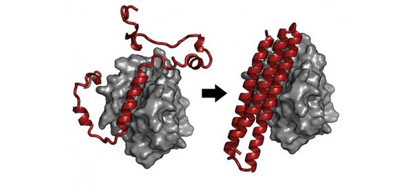 Illustration of computationally designed, engineered protein that UW research shows to cause death of cancer cells infected with Epstein-Barr virus