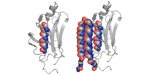 Image of protein structure binding to folding amyloid protein