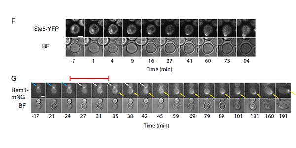 Time-lapse image of how yeast reacts to enviromental information