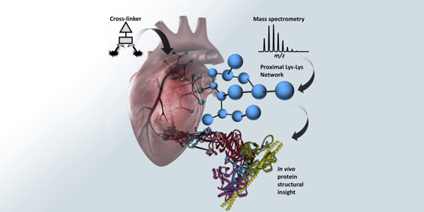 Graphical representation of chemical crosslinking mass spectrometry analysis of protein conformations and supercomplexes in heart tissue