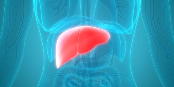 color illustration of liver in the torso