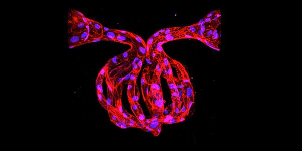 Ying Zheng microvasculature 3D structure