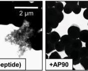 Demonstration of s. aureus biofilm structures and in the presence of anti-a-sheet peptide