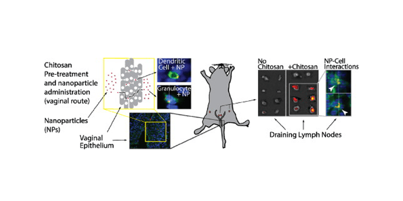 Graphical abstract demonstrating use of chitosan to facilitate nanoparticle delivery to draining lymph nodes